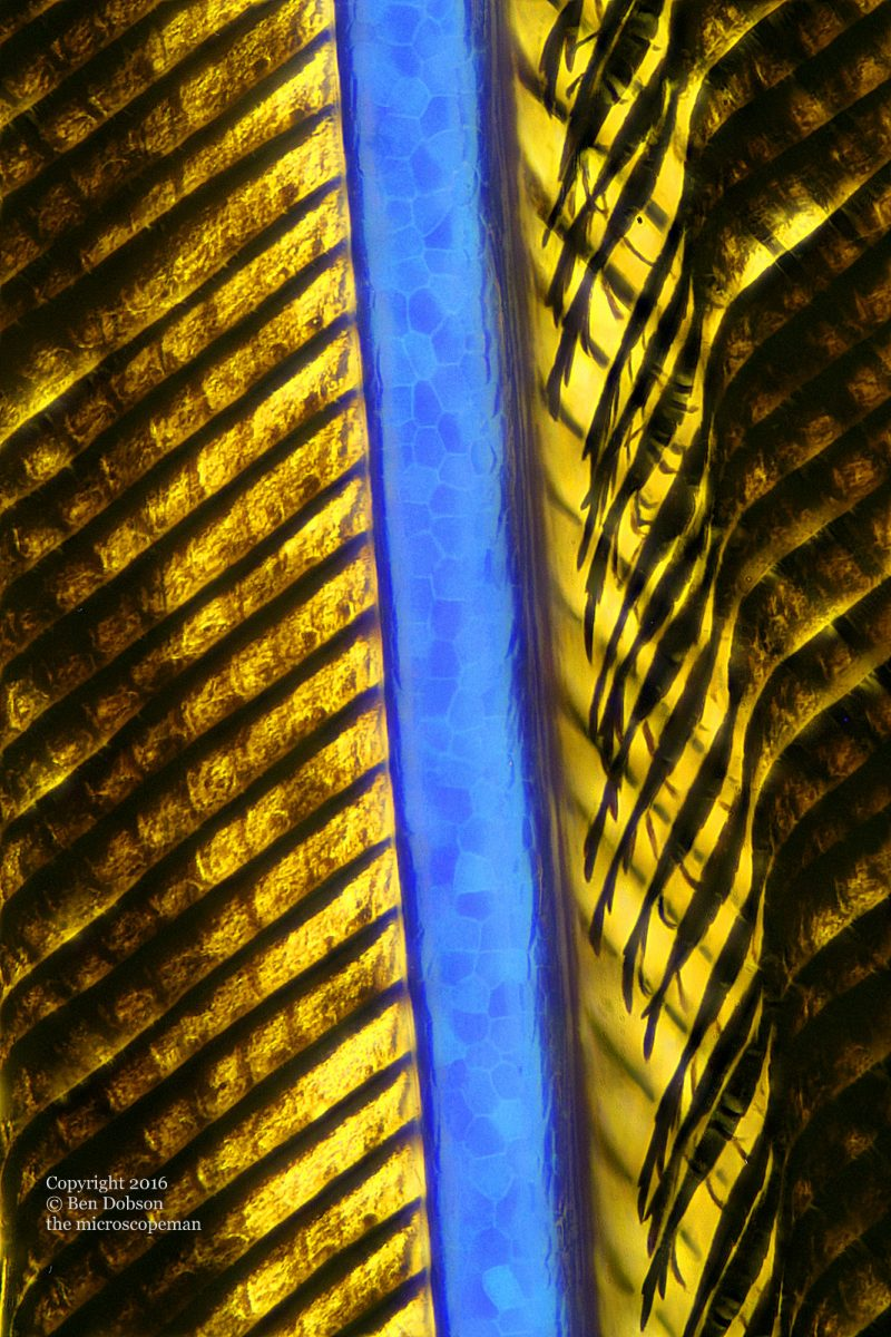Blue and Gold Maccaw feather x400
